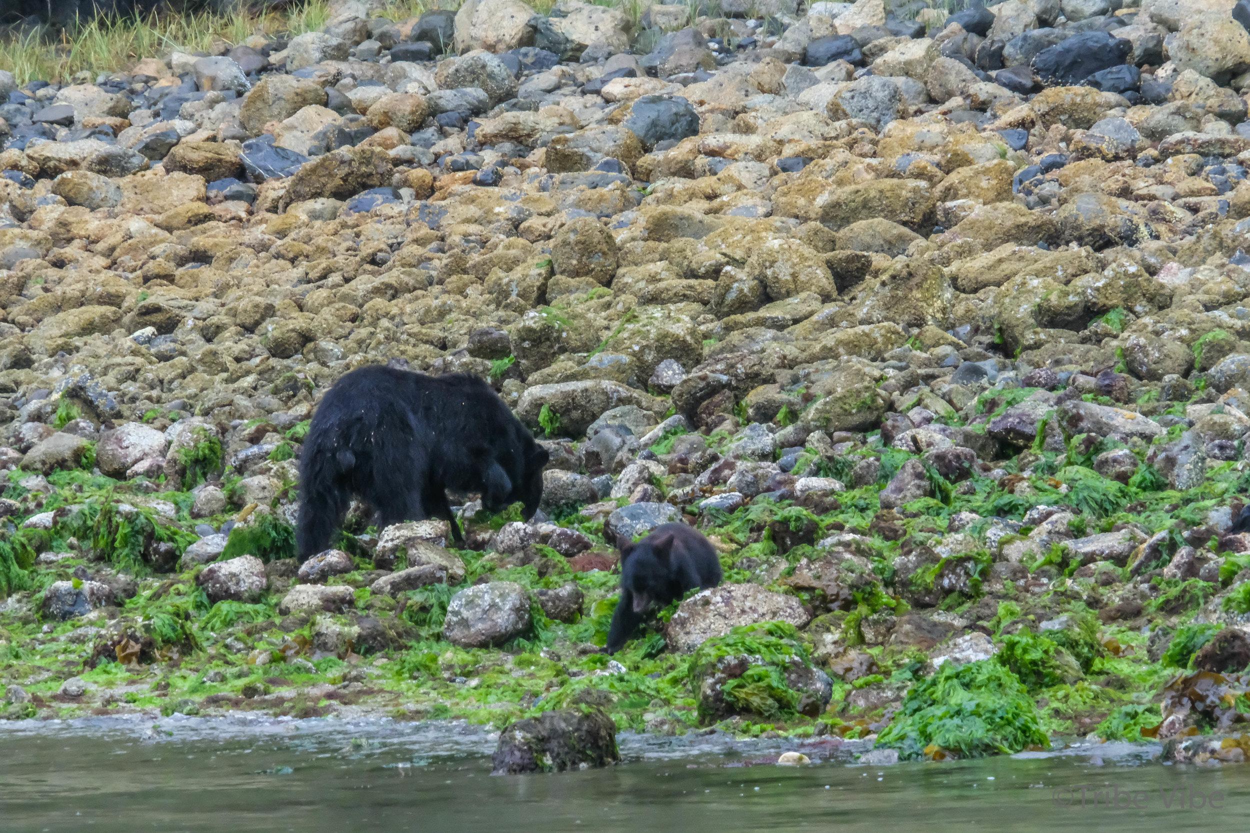 tofino bears37.jpg