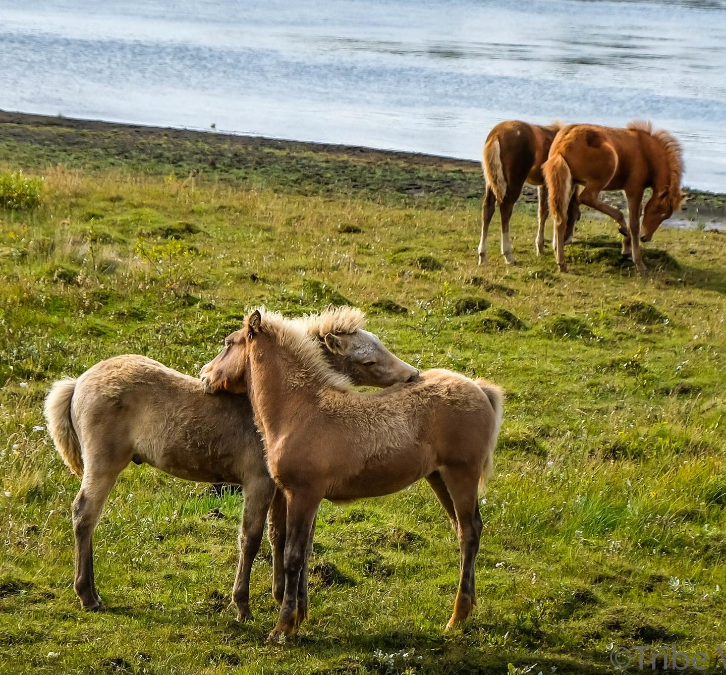 Icelandic Horses-13.jpg