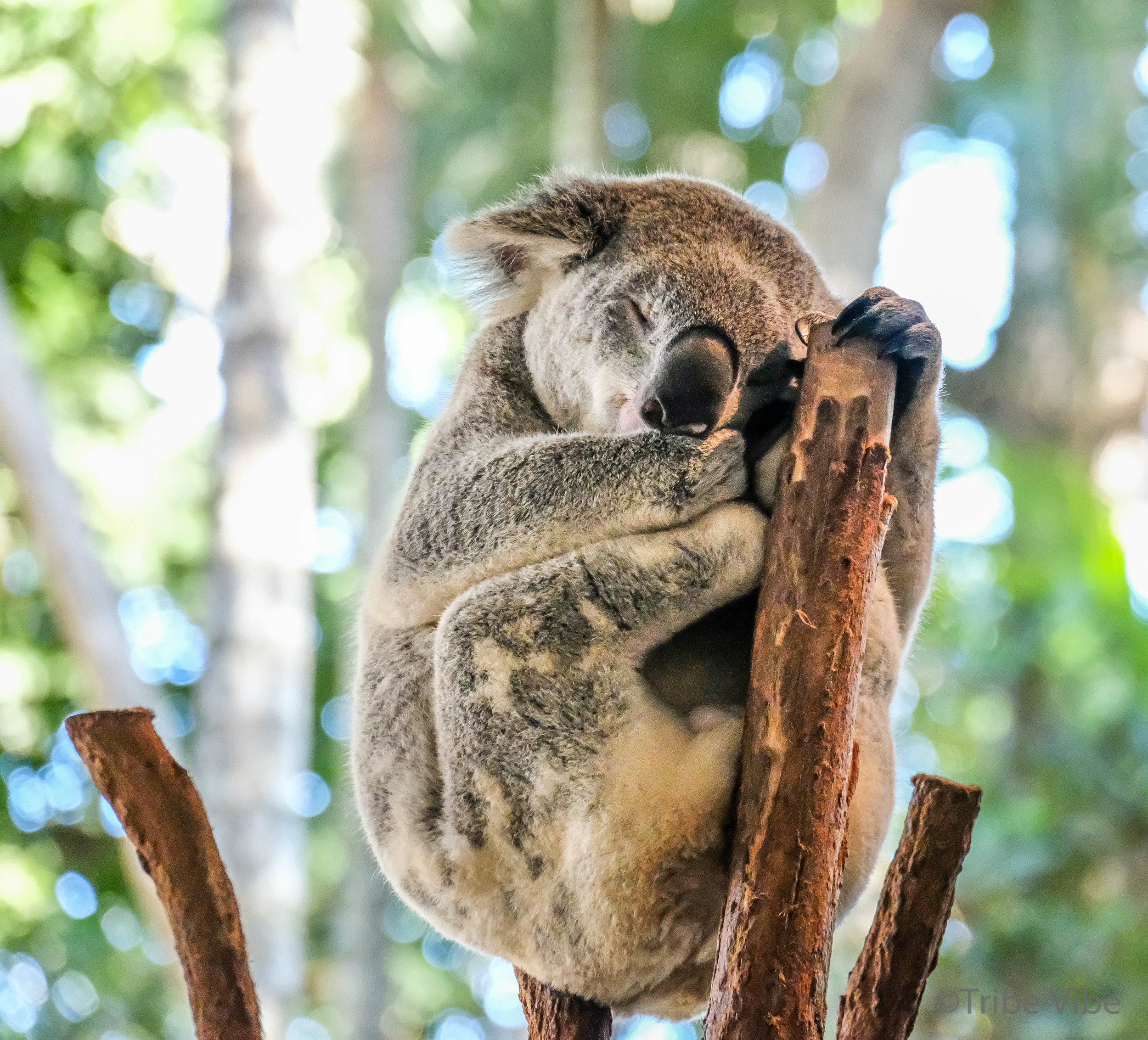 Sleeping Koala at the Lone Pine Koala Sanctuary in Brisbane, Australia.