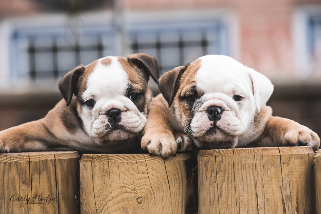 British Bulldogs-129.jpg