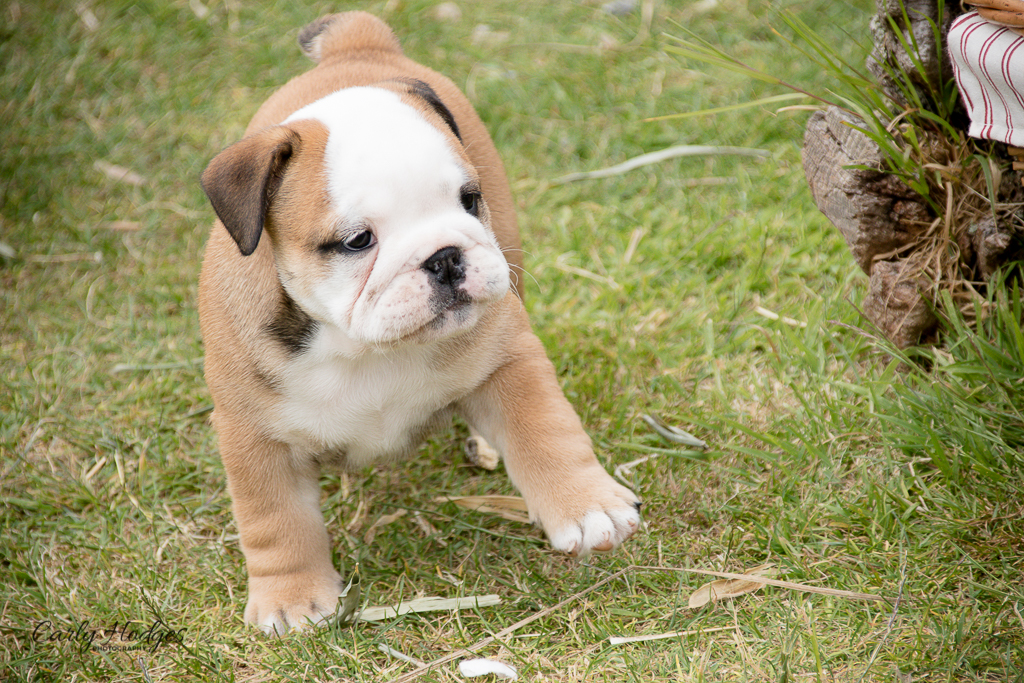 British Bulldogs-92.jpg