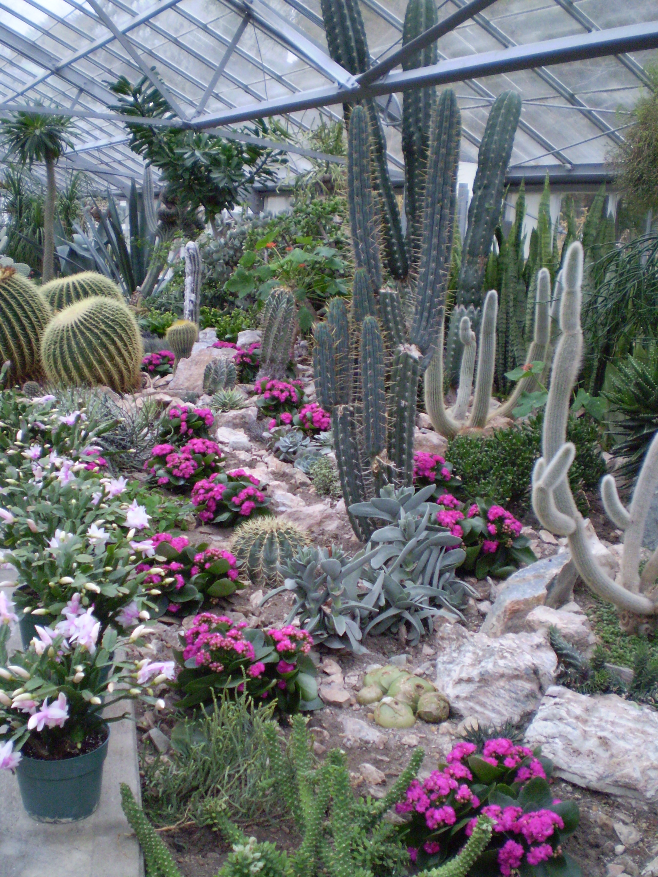 Cacti in the Hothouse in Toronto Botanical  Gardens .JPG