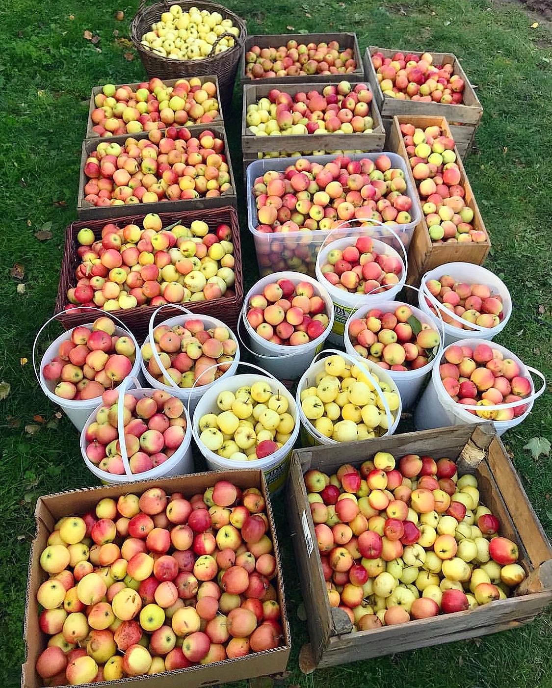 Första steget i att ta vara på sina äpplen! Av  @silwagarden