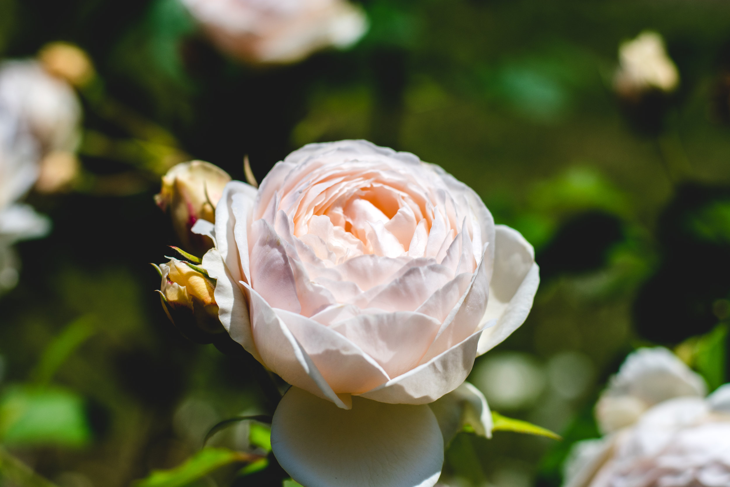 """""""Outta The Blue"""" Variety of Rose - The smell is incredible."""
