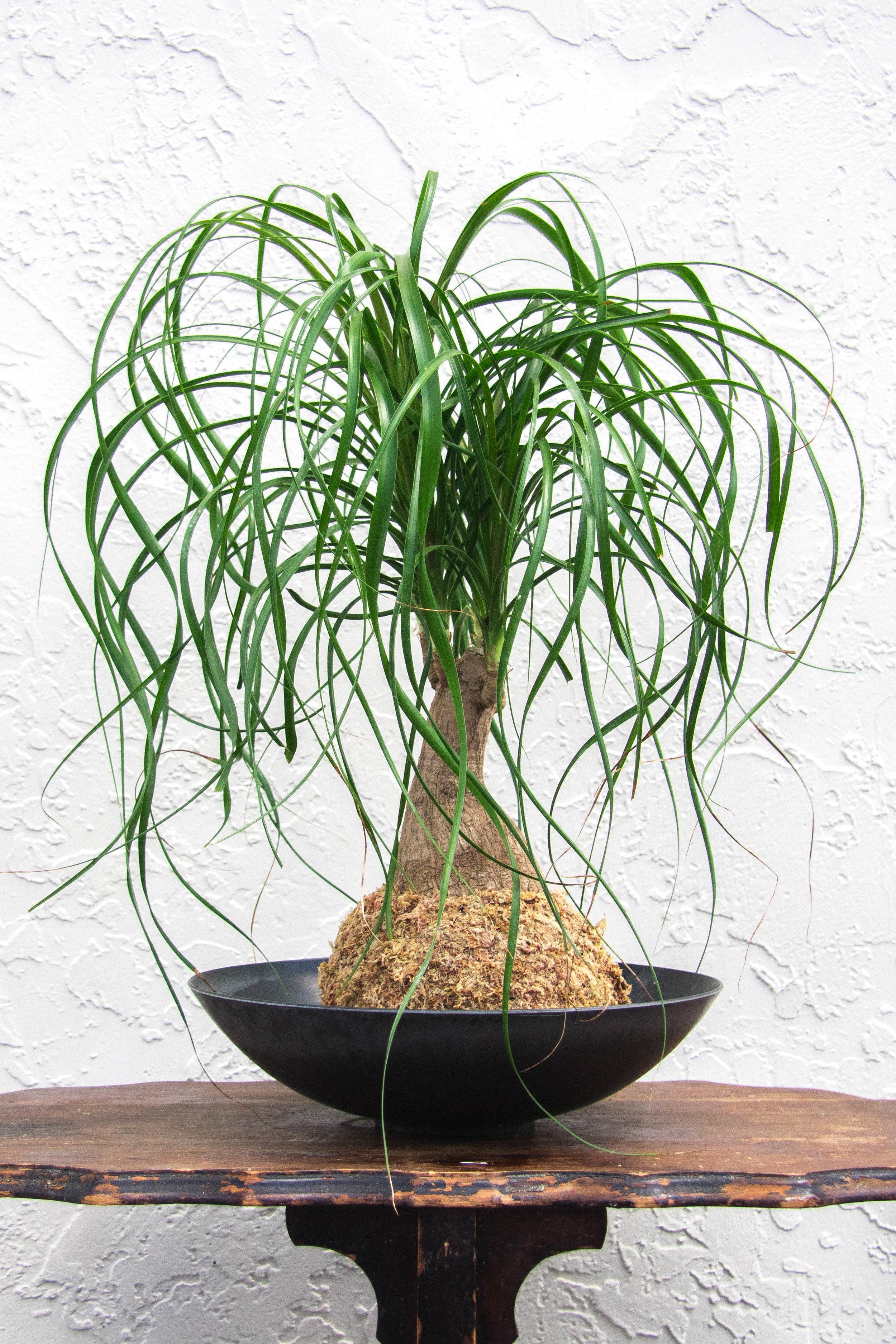 Ponytail Palm M