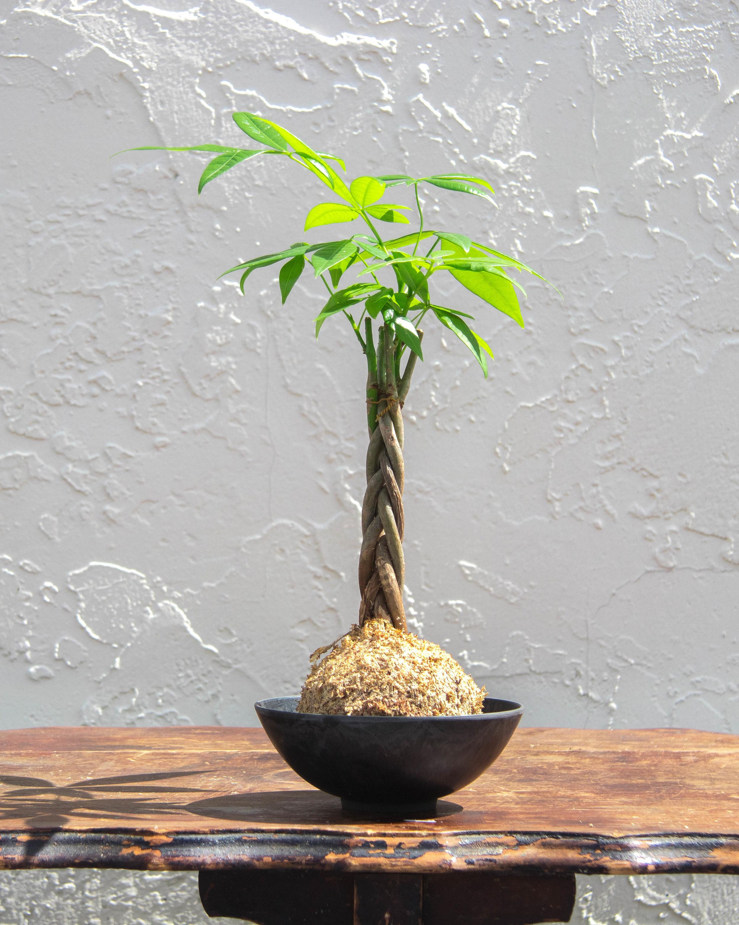 Money Tree S