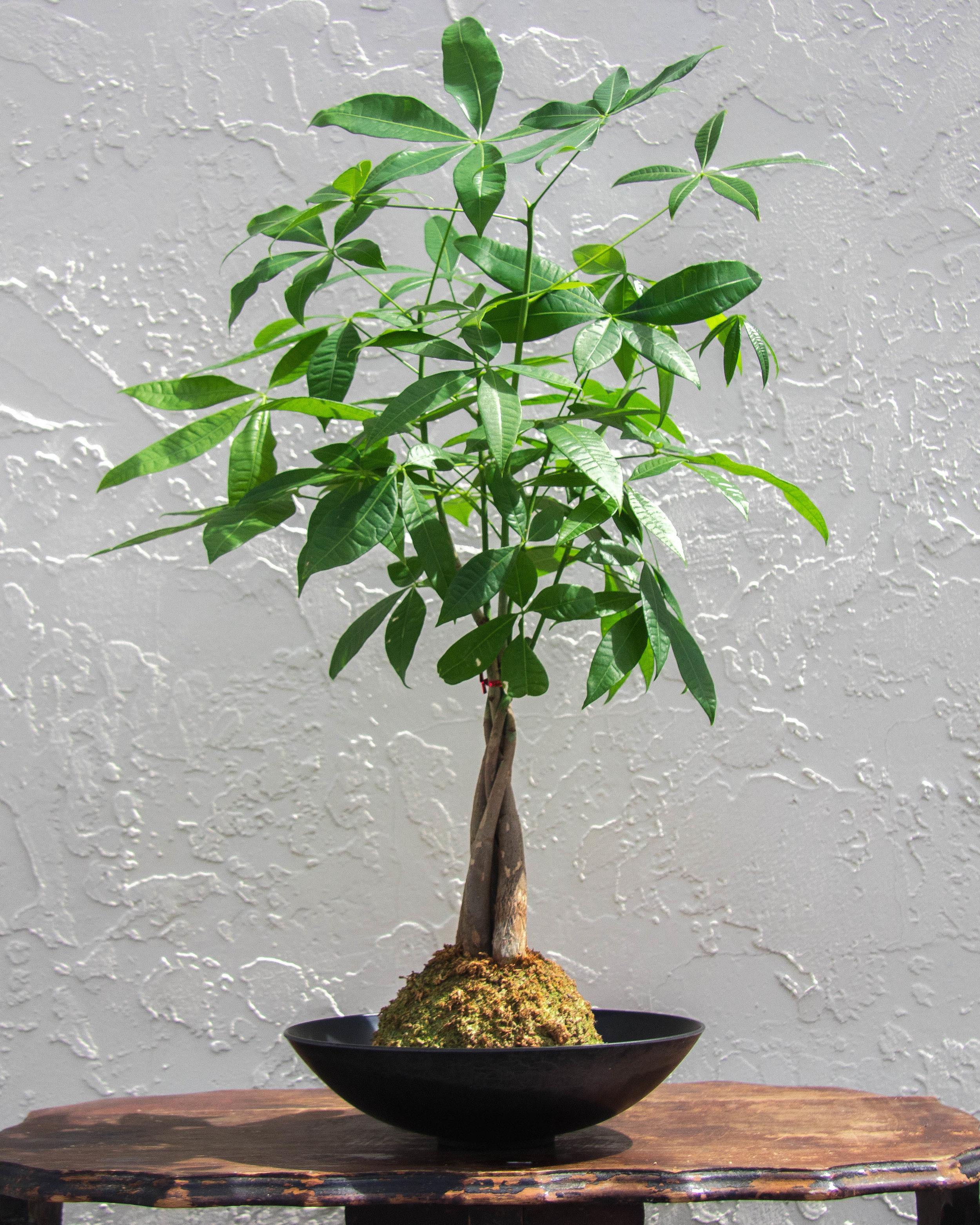 Money Tree M