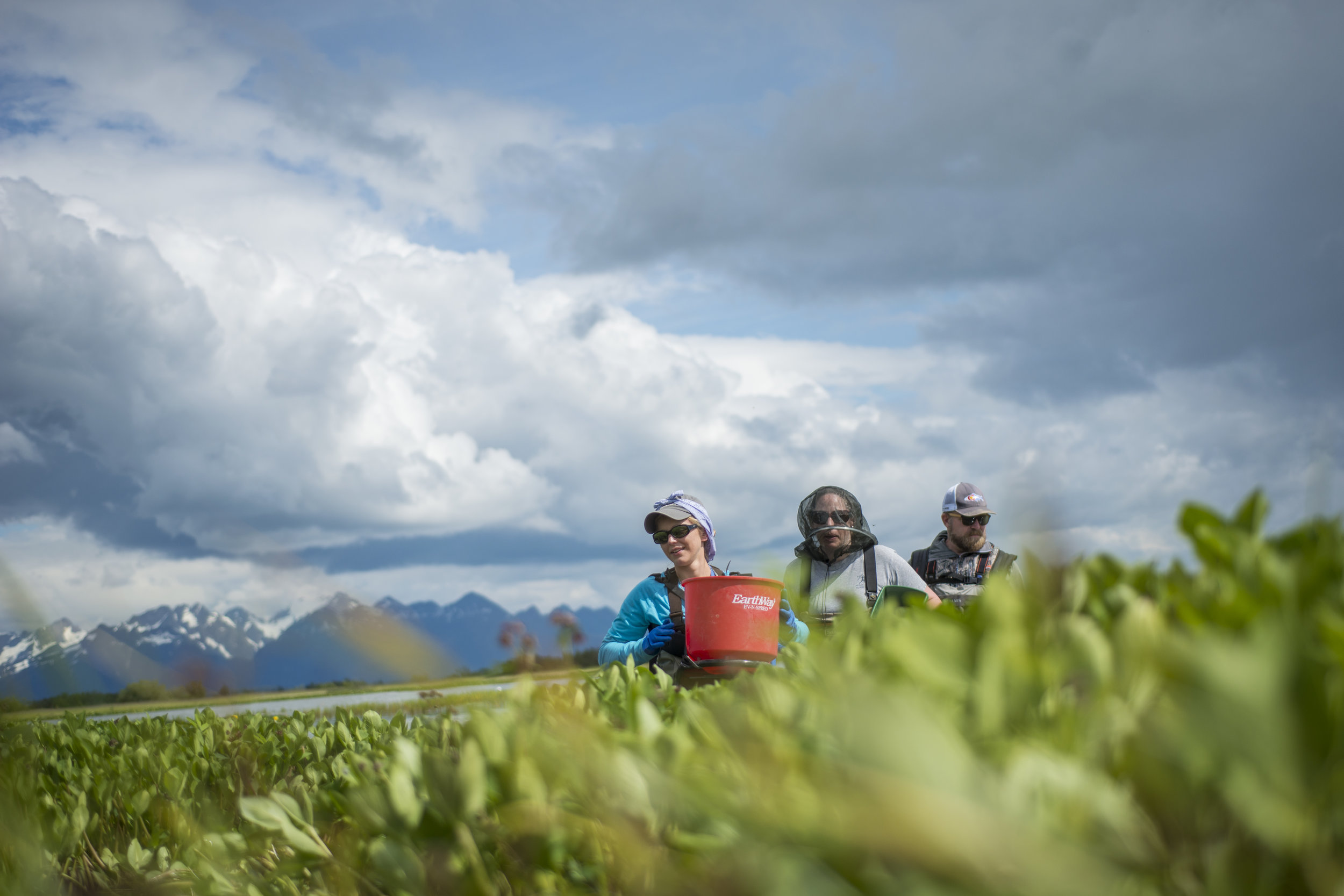 Elodea treatment is controversial in Alaska because long-term effects of both the invasive plant and eradication treatments are still unknown.