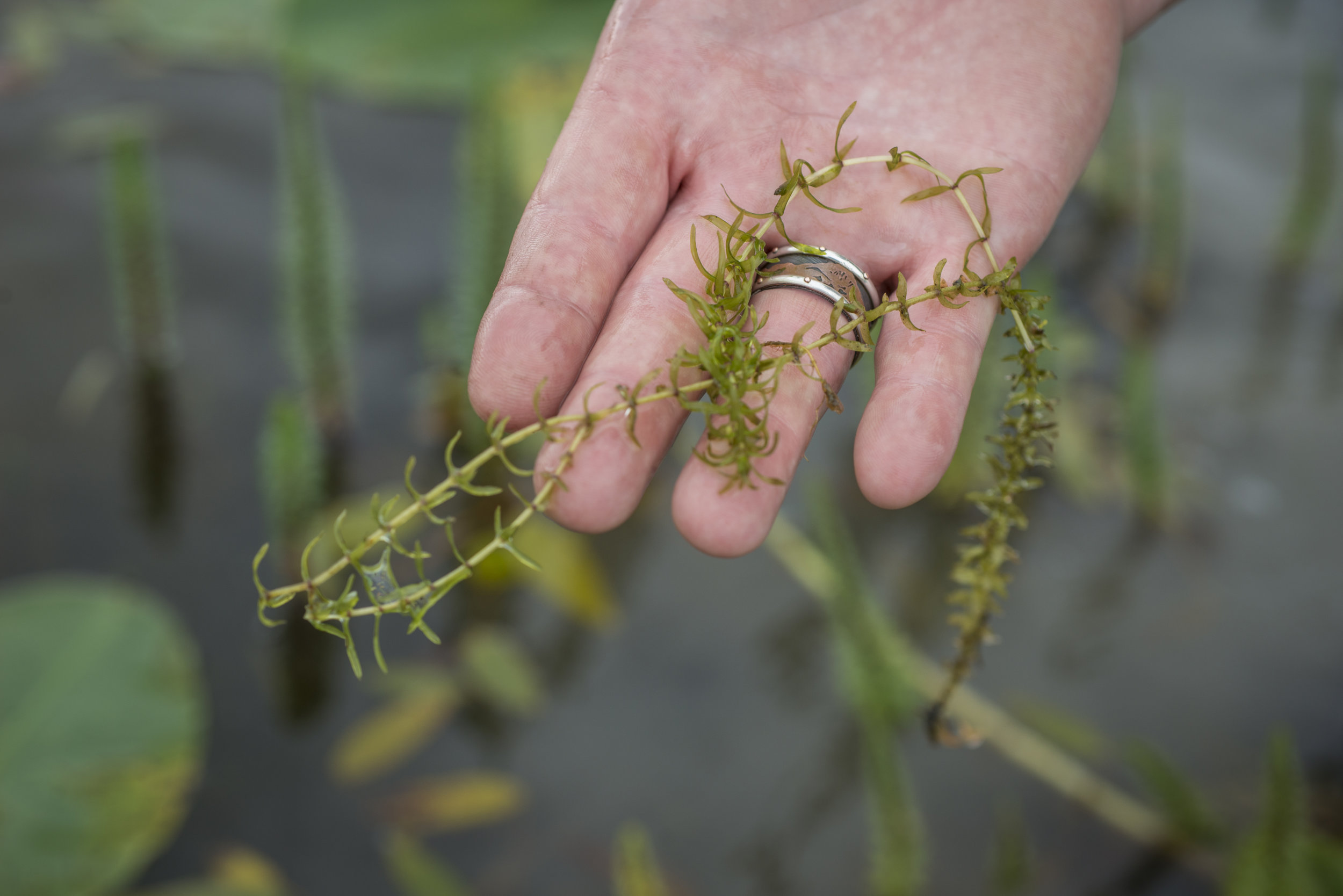 """Robert Canva holds a piece of an elodea plant in his hand. He shows it to everyone in the group saying, """"This little plant is causing lots of trouble."""" Elodea is an invasive species of aquatic plant that the state of Alaska is interested in eradicating."""
