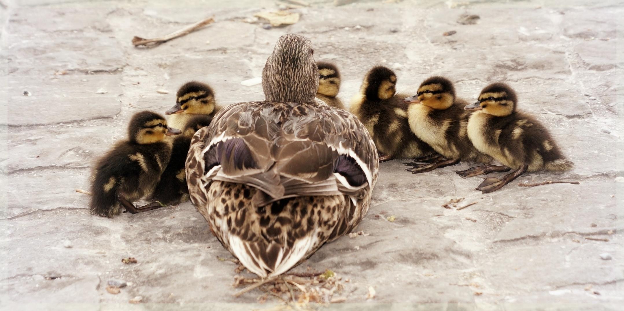ducks-in-a-row.jpeg