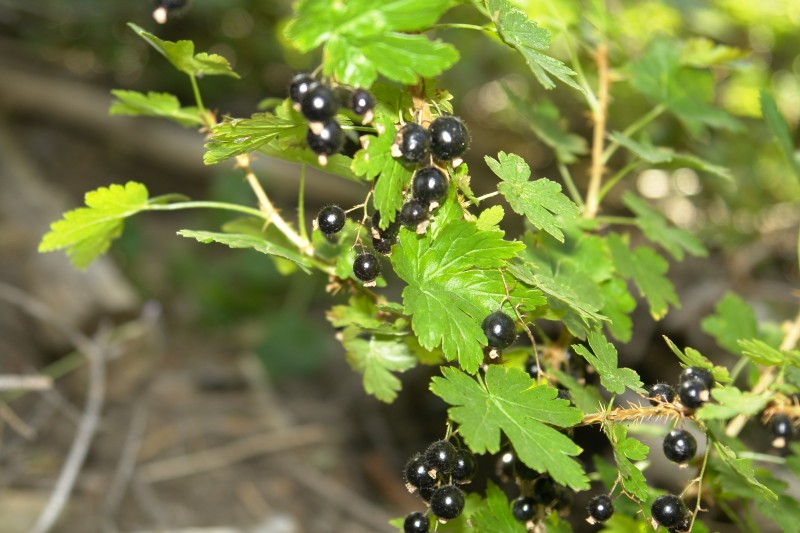 This is another gooseberry, also called Bristly Black Currant.  These are very good.