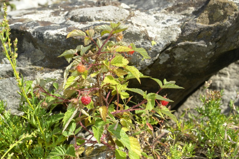 Above, Rubus idaeus, raspberry, edible and tasty