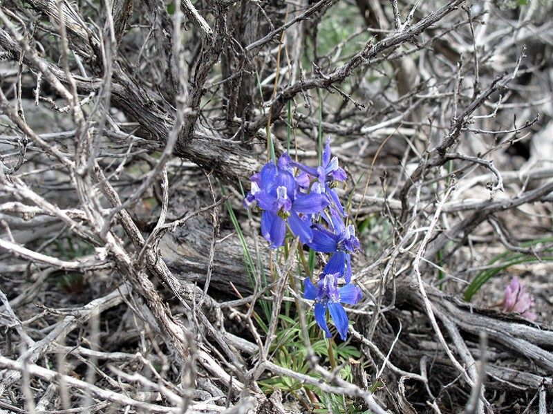 Another larkspur growing in the protection of a thicket of sage branches.