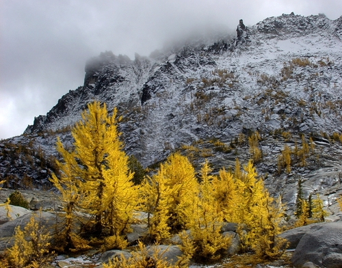 These are larch trees in their pre-winter color. They drop their needles shortly after turning yellow.