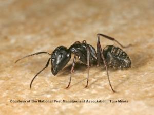 carpenter-ant-img_3011.jpg