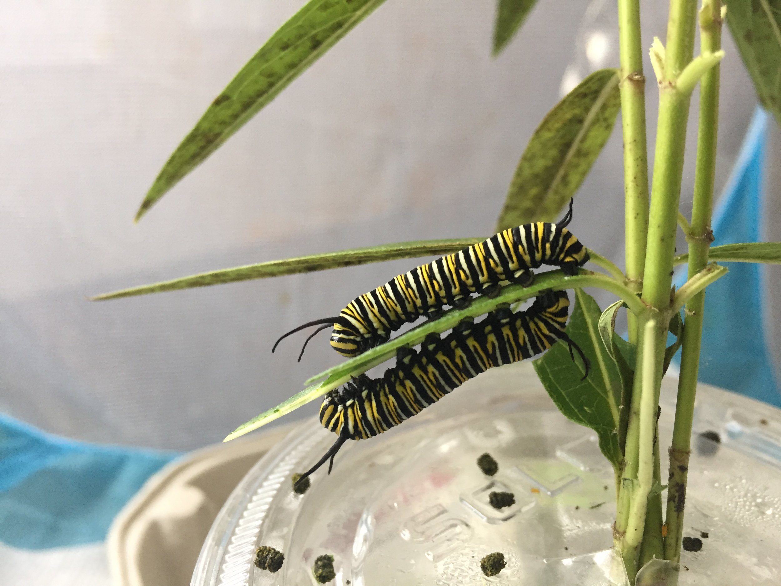 Monarch Caterpillars: Sharing is caring