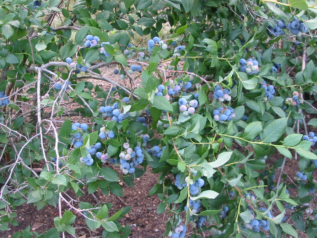 Pick-your-own Fresh Blueberries