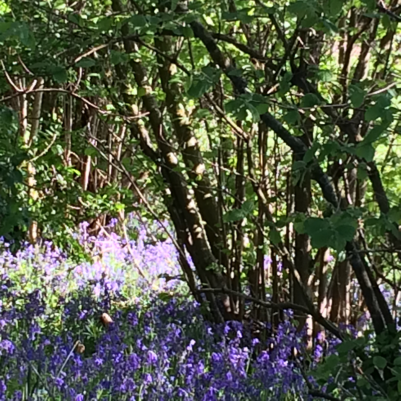 Bluebell-wood.png