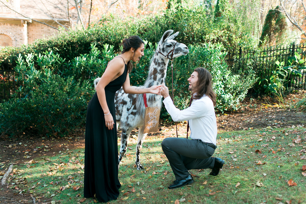 alpaca engagement
