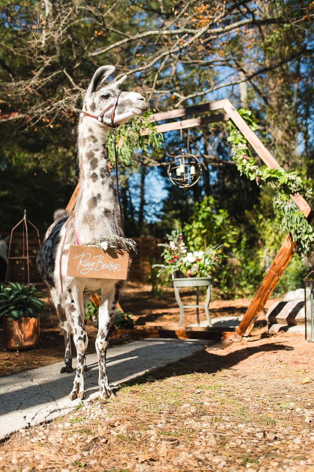 alpaca wedding