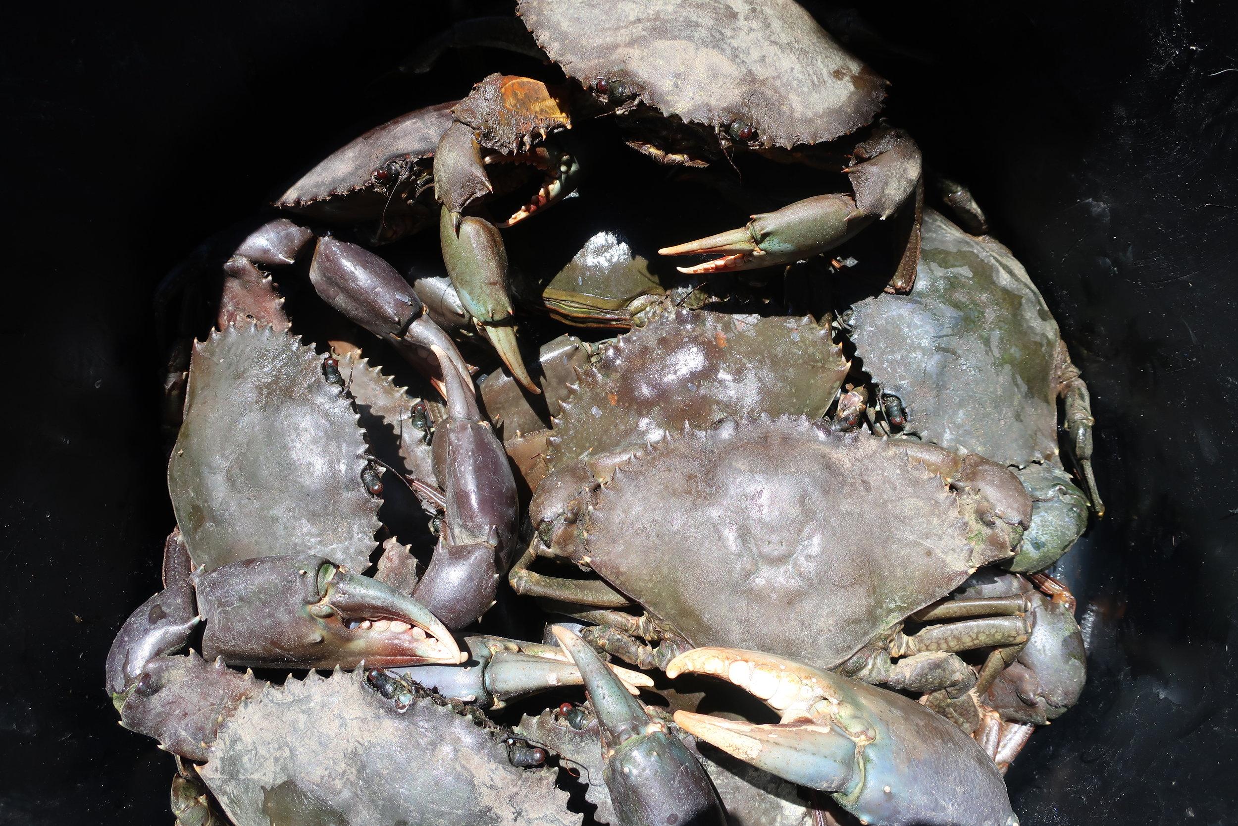 Crabes de palétuviers