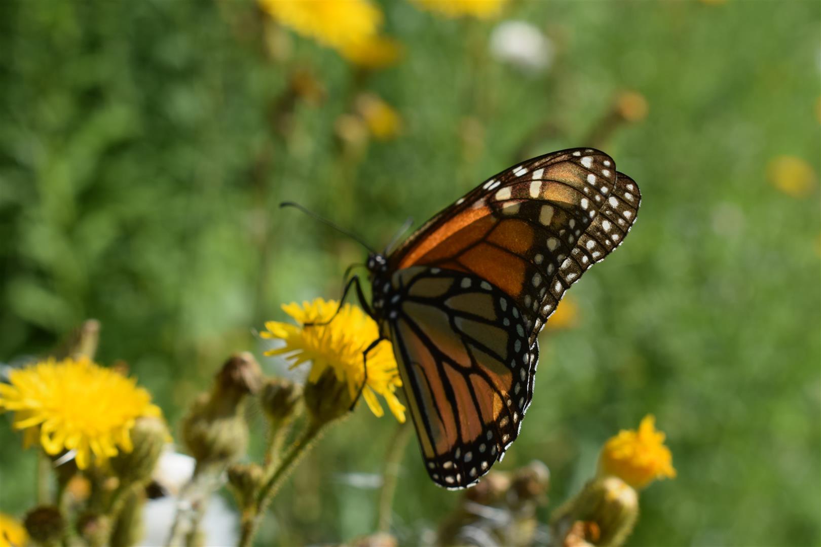 Monarch (Special Concern) - Heber Down Conservation Area - July 25/18