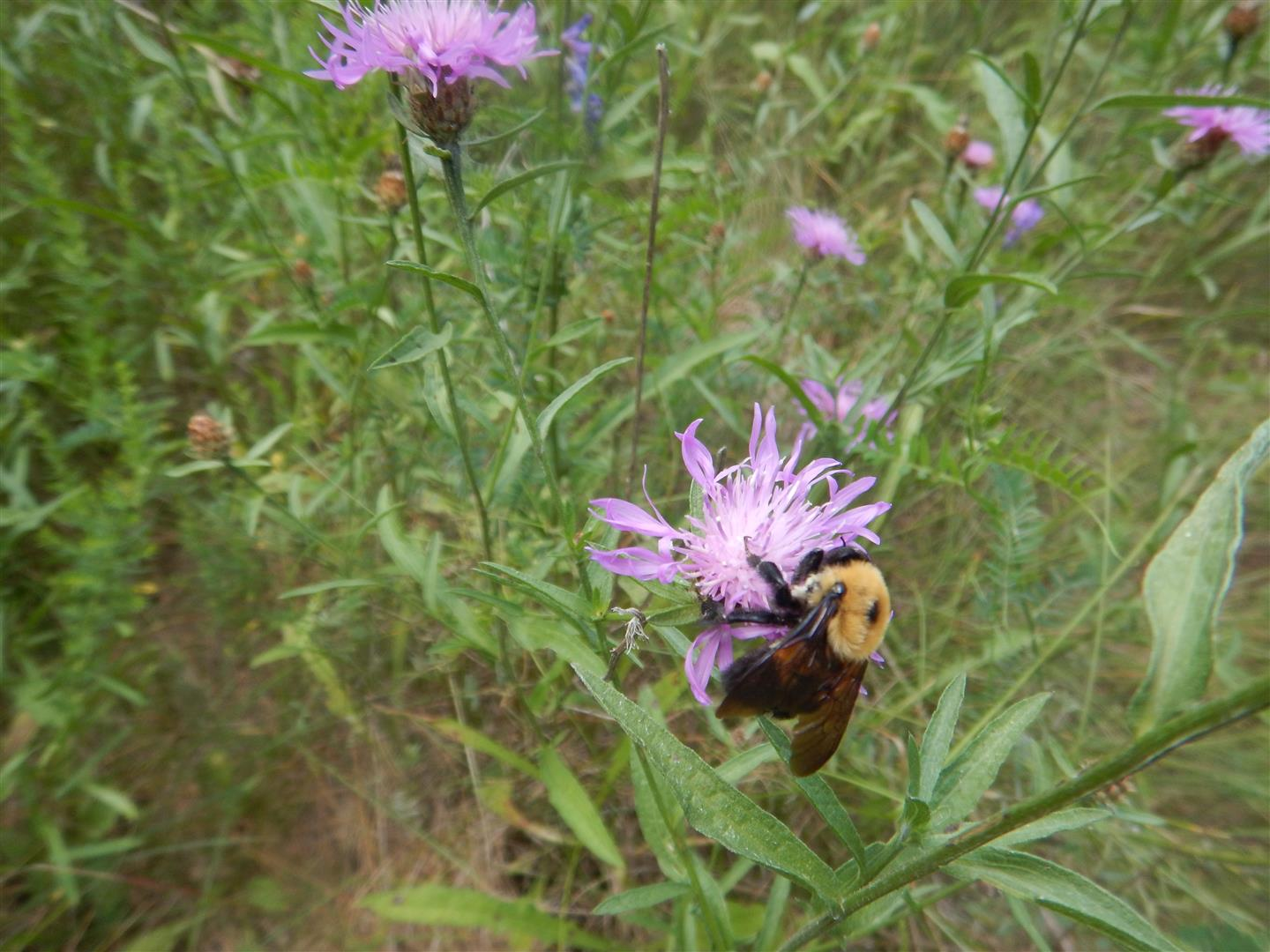 Bumble Bee - Eaton Property - July 27/18