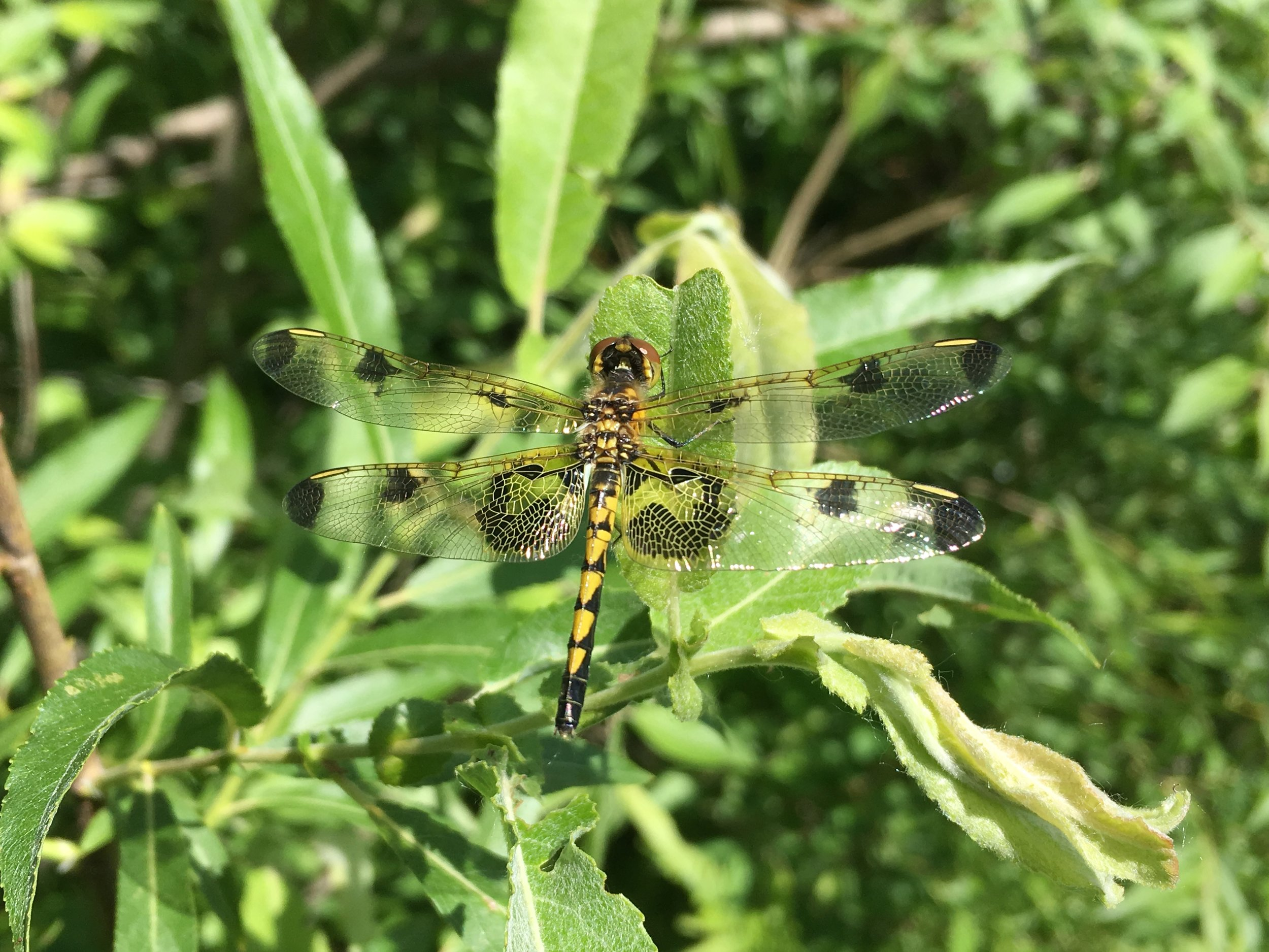 Calico Pennant - Spray Lake Watersports Park - Jun 8/18