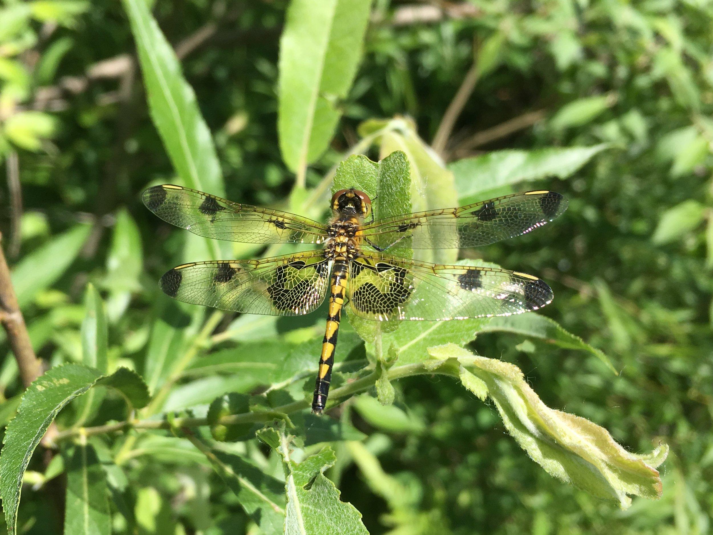 Calico Pennant - Spray Lake Watersports Park - Jun 8/18