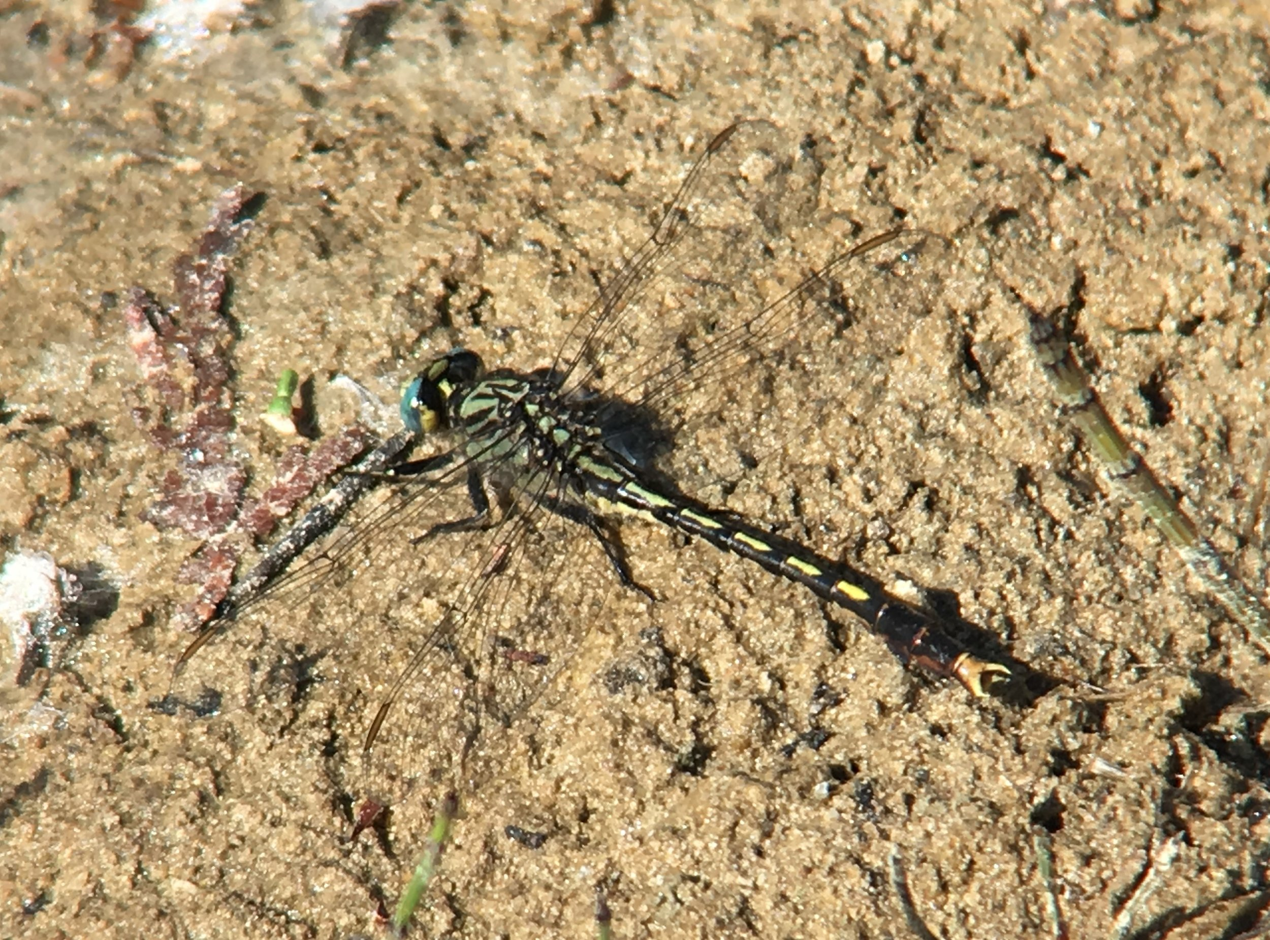 Unicorn Clubtail (Provincially Rare) - Heber Down Conservation Area - Jun 8/18