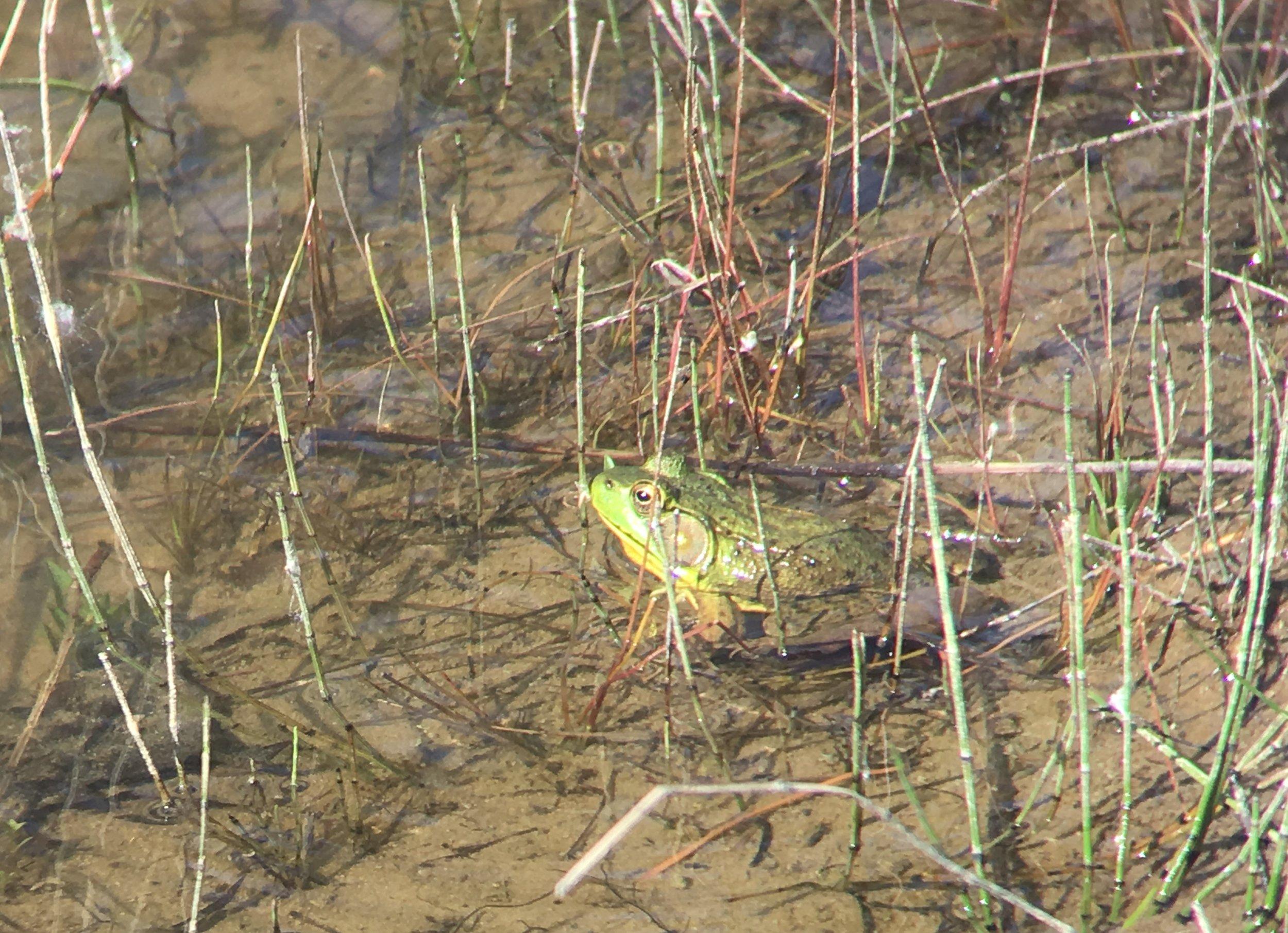 Green Frog - Heber Down Conservation Area - Jun 8/18