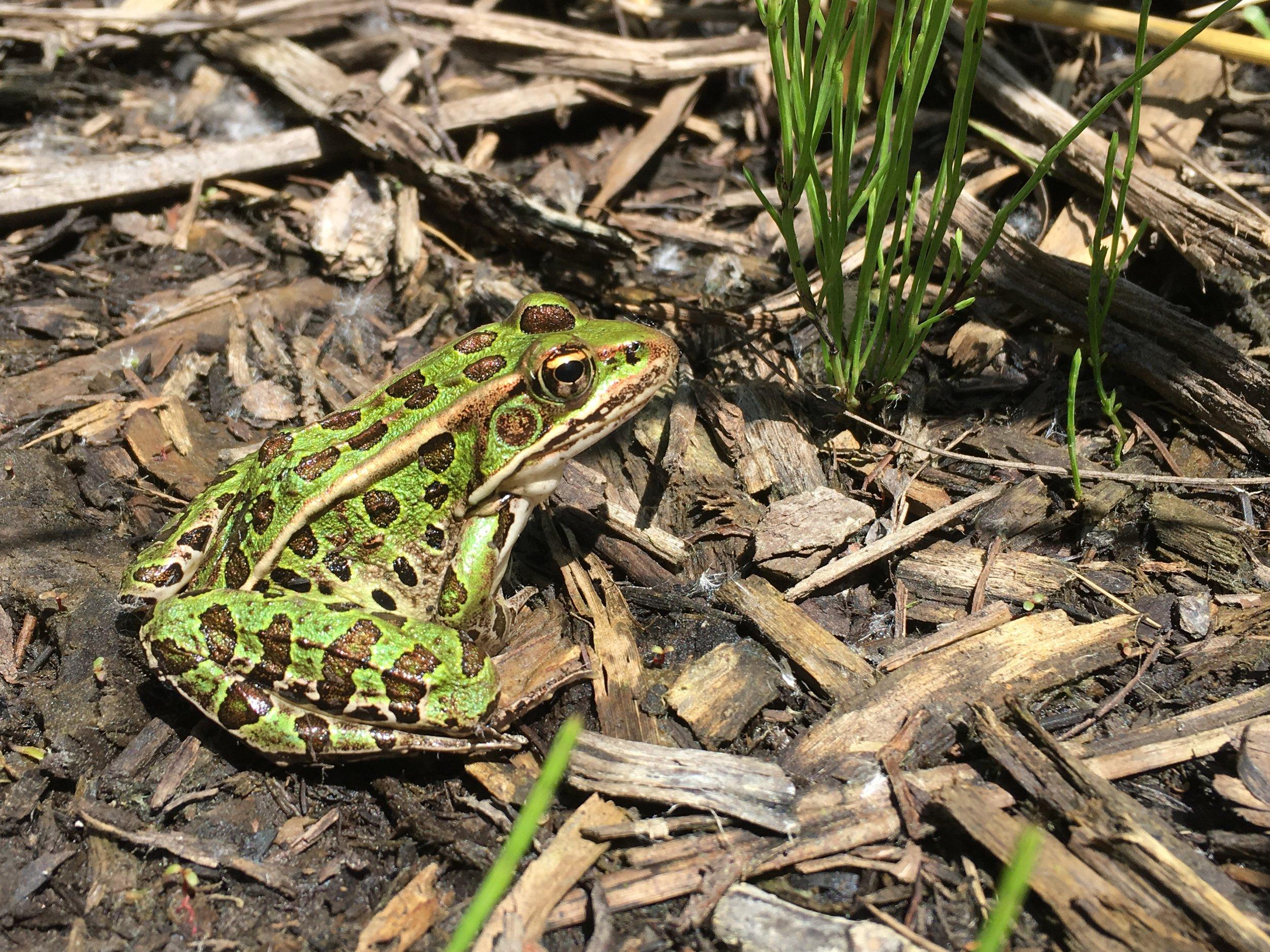 Northern Leopard Frog - Spray Lake Watersports Park - Jun 8/18