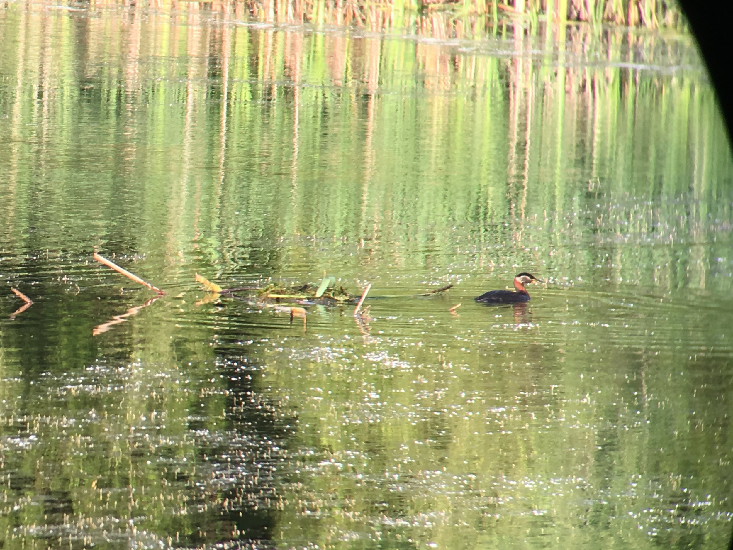Red Necked Grebe - Eagle's Nest Golf Club - Jun 8/18 - The Red Necked Grebe is only known to nest along the shore of western Lake Erie.
