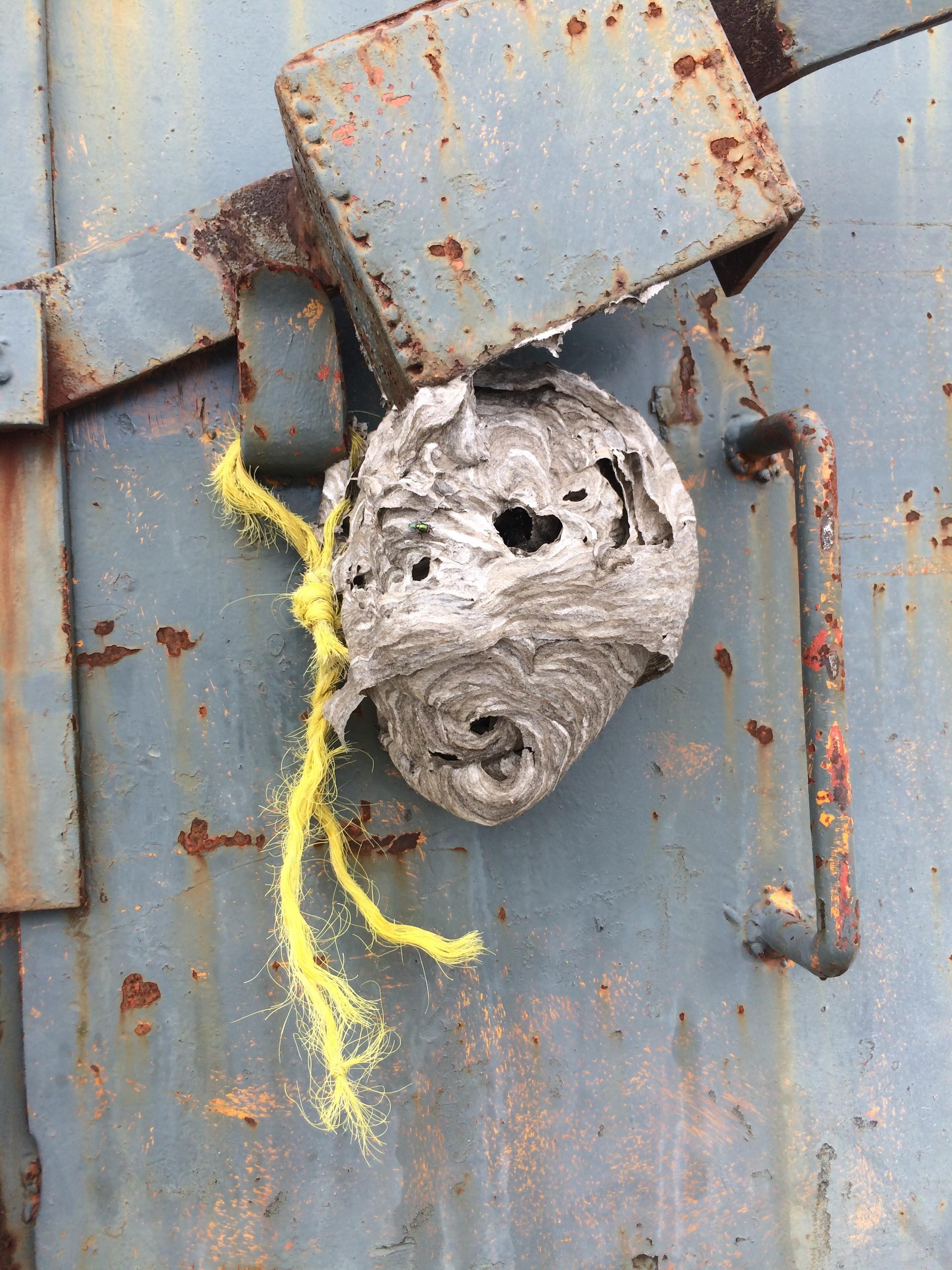Paper Wasps - Spray Lake Watersports Park - July 26/18