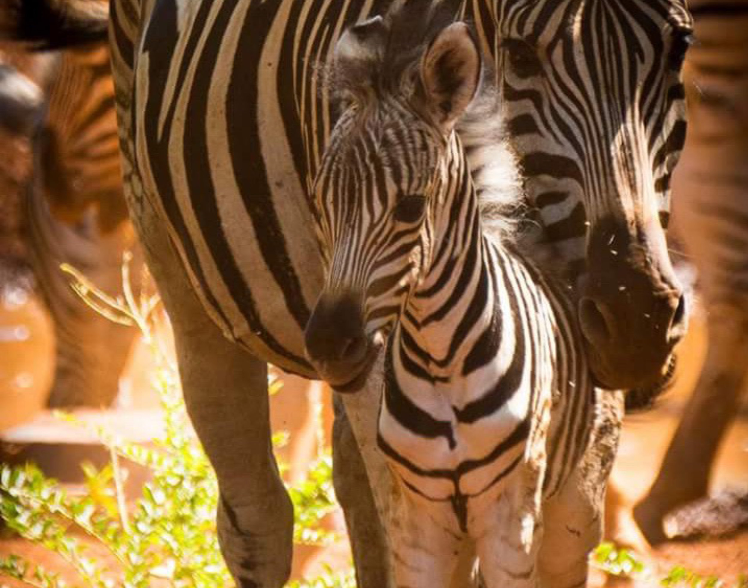 Copy of Our first baby zebra born in 2016