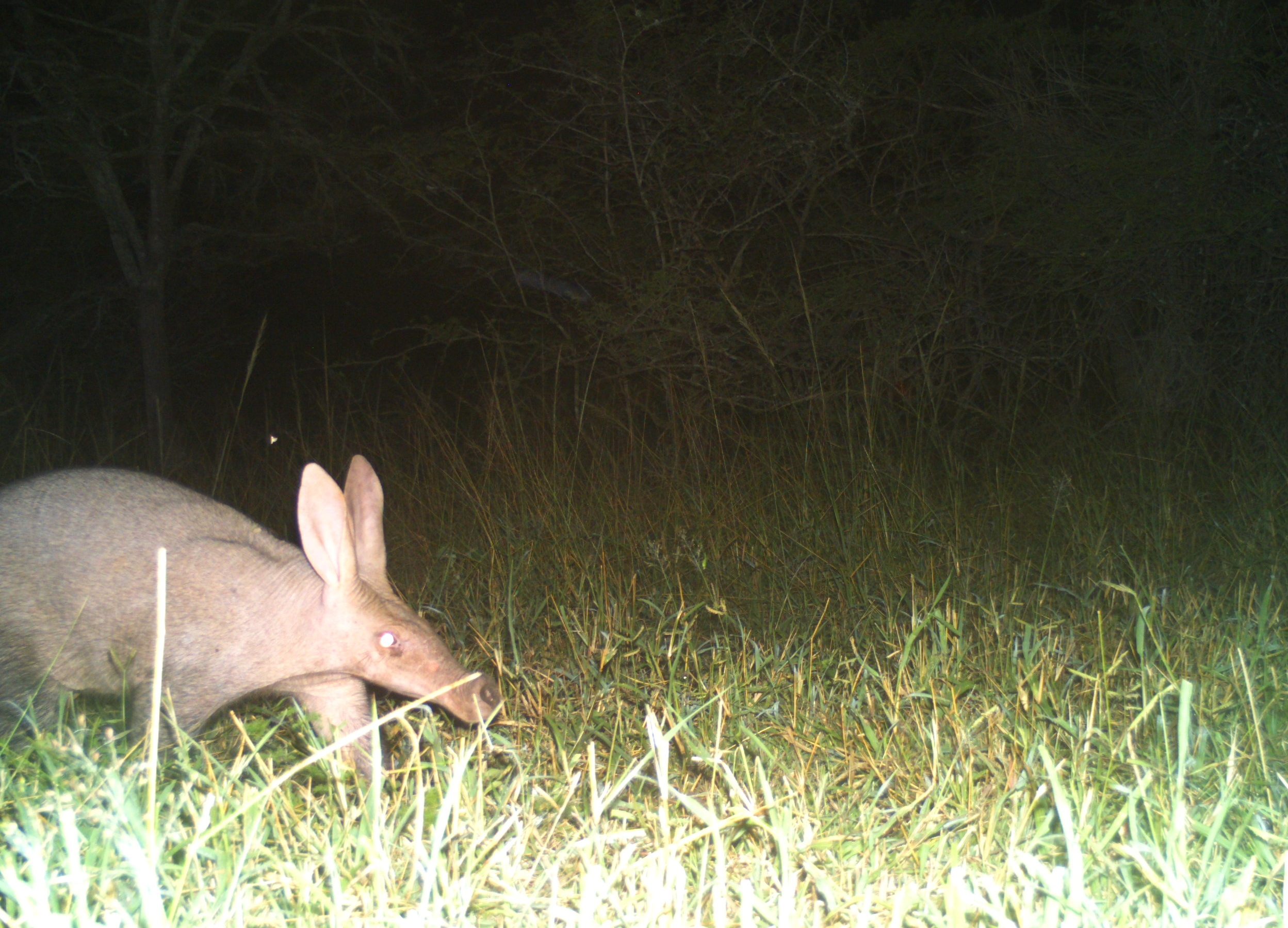 An Aardvark (Orycteropus afer) appeared once in the camera trap survey. Rarely seen during the day, it was photographed at 1am in the morning foraging for food.