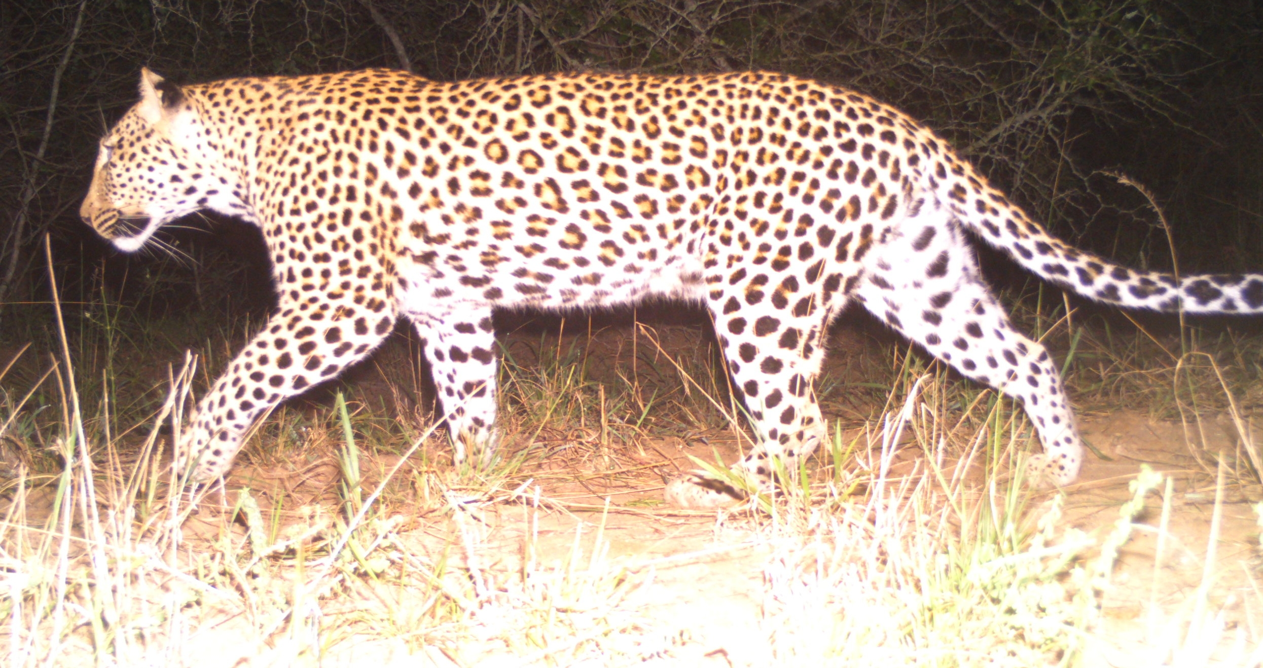 Leopards  (Panthera pardus)  are masters of camouflage, shy, elusive and hard to spot. Not for our camera traps which took a total of 7 captures of leopards across our survey period. This photograph was taken in the cool dark of night, just before midnight - perfect time for hunting.
