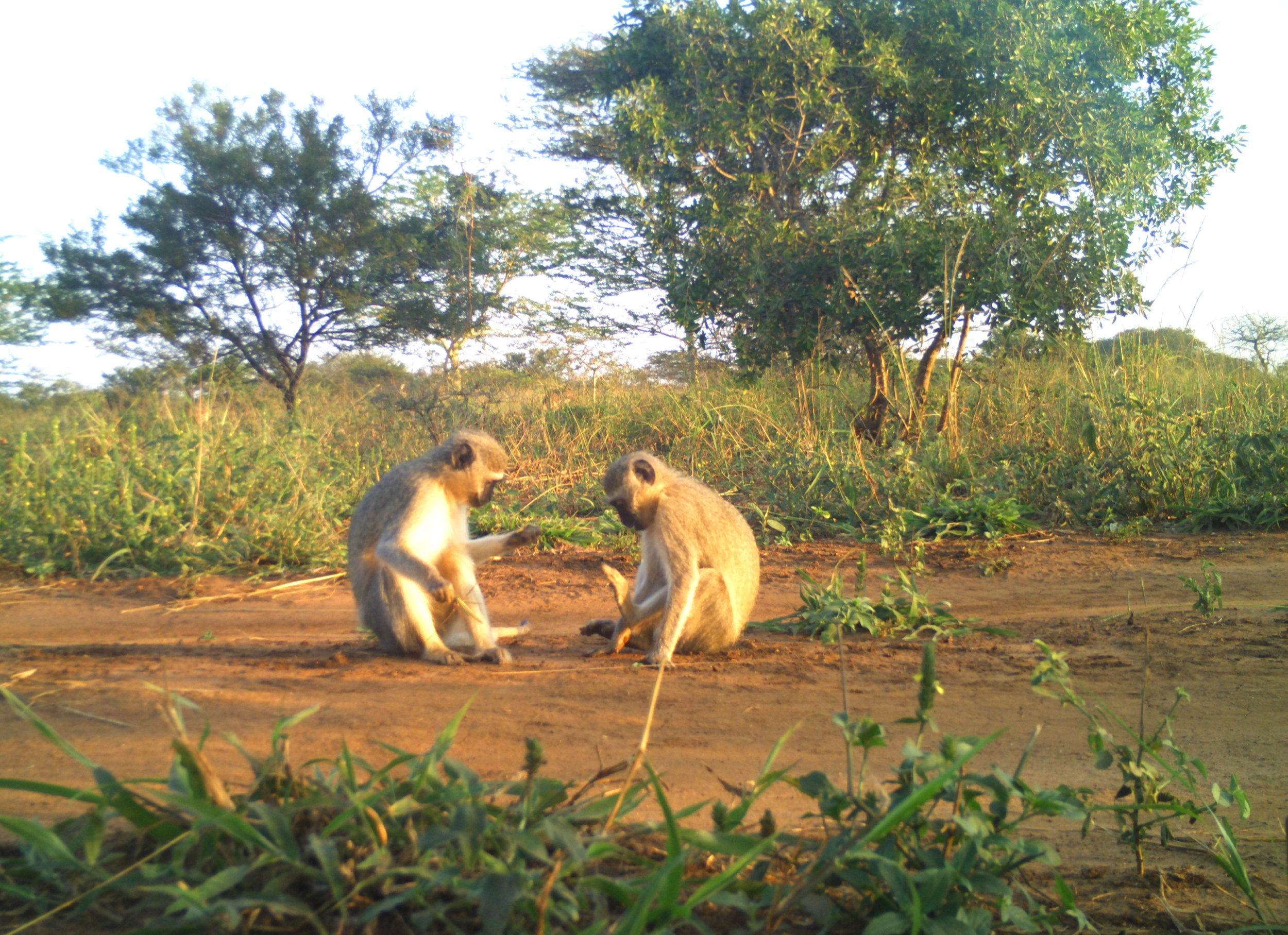 A pair of Vervet Monkeys  (Chlorocebus pygerythrus)  play in front of the camera.