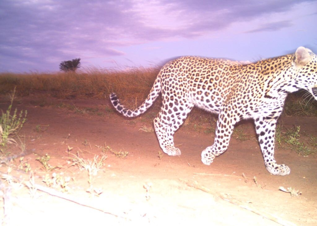 A leopard ( Panthera padres)  at sunset on Ukuwela.
