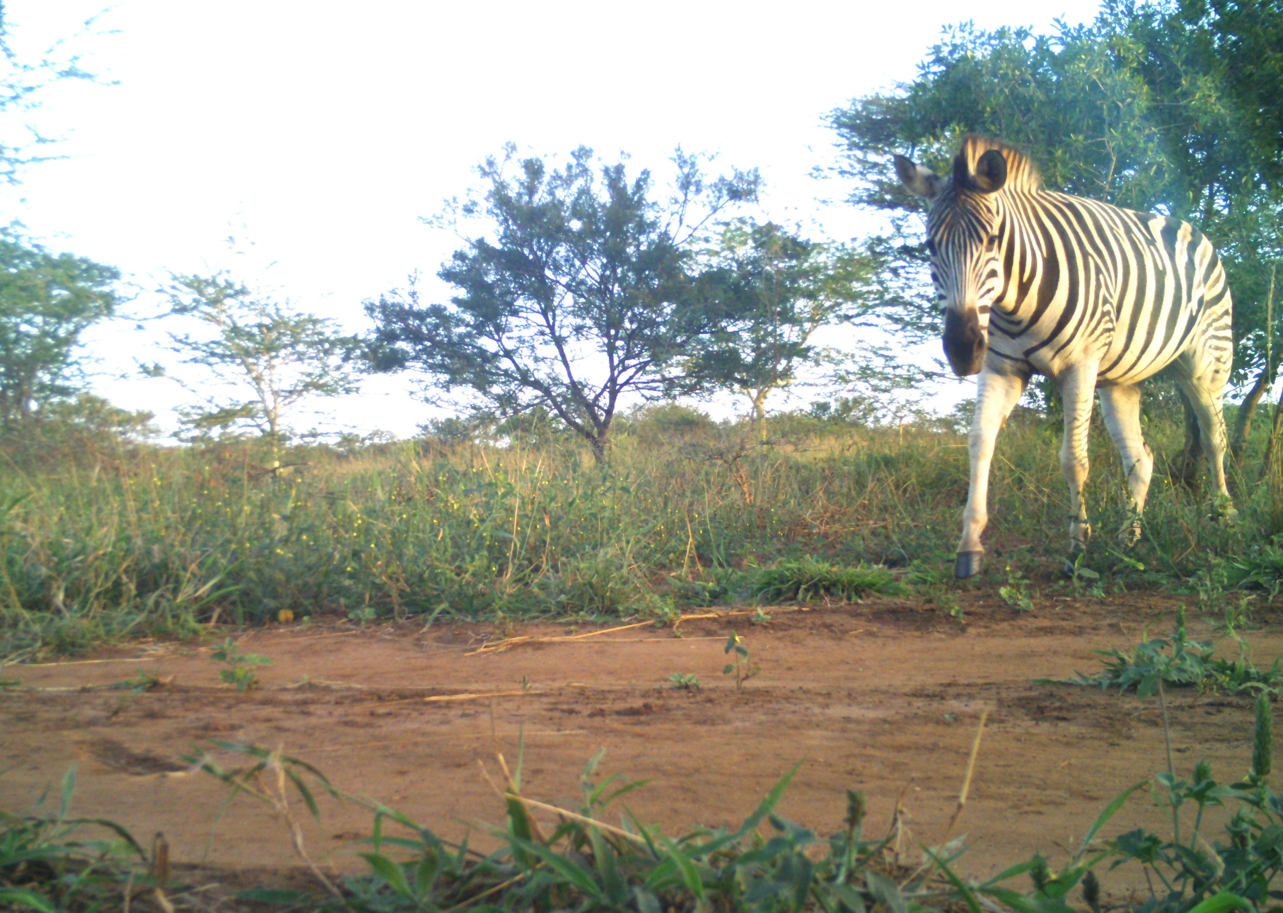 A Plains Zebra  (Equus quagga)  in the late afternoon.