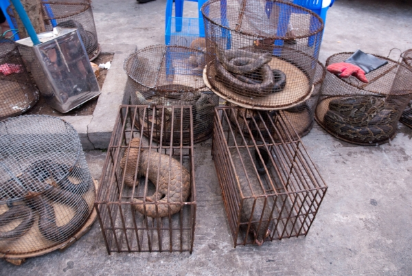 Pangolins, snakes and monitor lizards in cages at an Illicit endangered wildlife restaurant (location undisclosed, Asia).  Photo Credit: Soggydan Benenovitch/WildScreen Exchange.