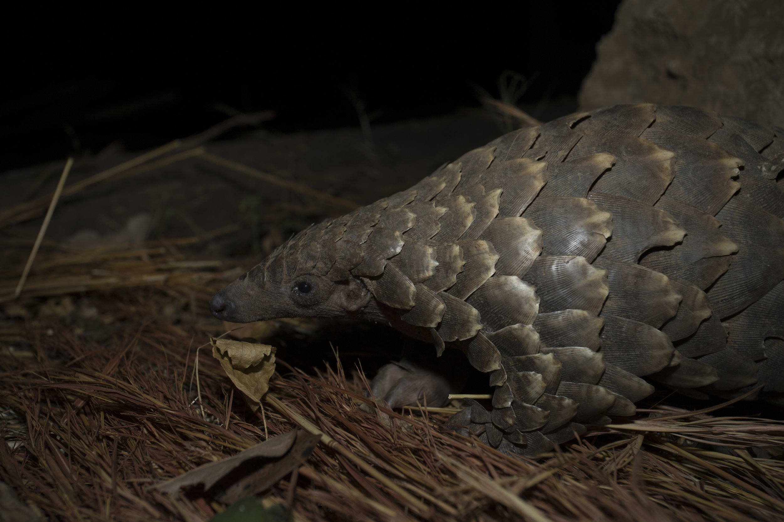 African ground pangolins and solitary and nocturnal - here's one at night, on the move.  Photo Credit: Luke Massey/WildScreen Exchange