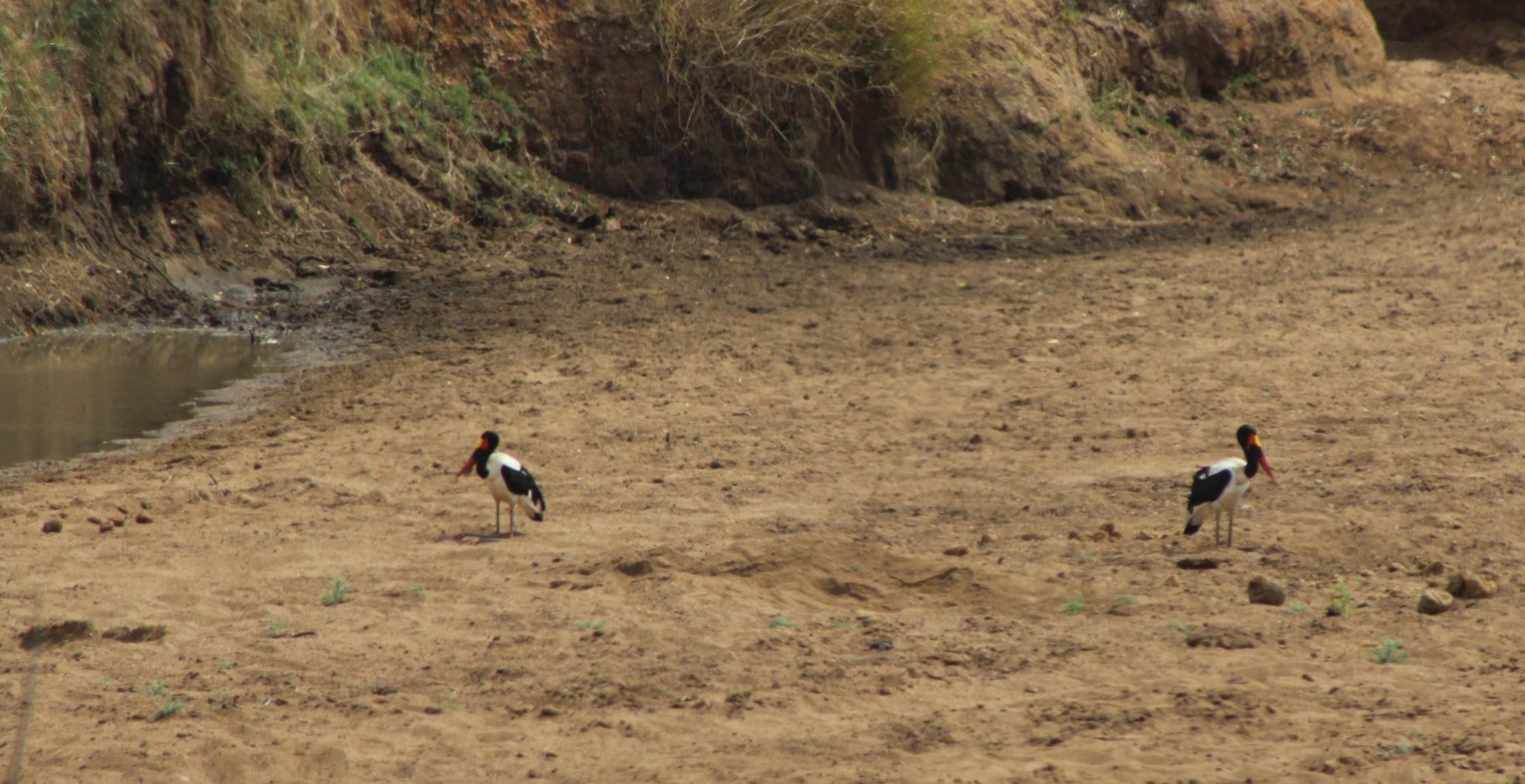 iSimangaliso also holds breeding Goliath Heron Ardea goliath (right, Photo Credit: Neil Aldridge/WildScreenExchange) and the only breeding population of Saddle-billed Stork Ephippiorhynchus senegalensis (above, Photo Credit: Tori Gray) in KwaZulu-Natal.