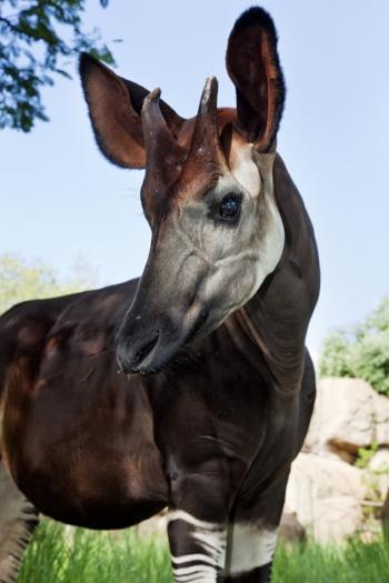 An Okapi. Photo Credit: Martin Harvey/WildscreenExchange