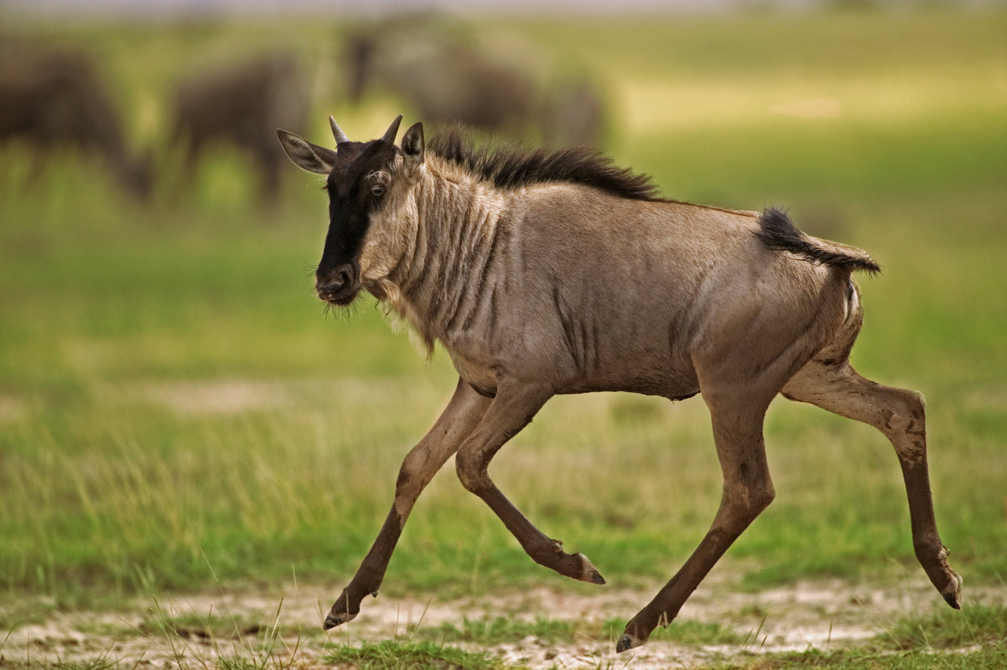 Blue wildebeest on the move. Photo credit: Martin Harvey/WildscreenExchange