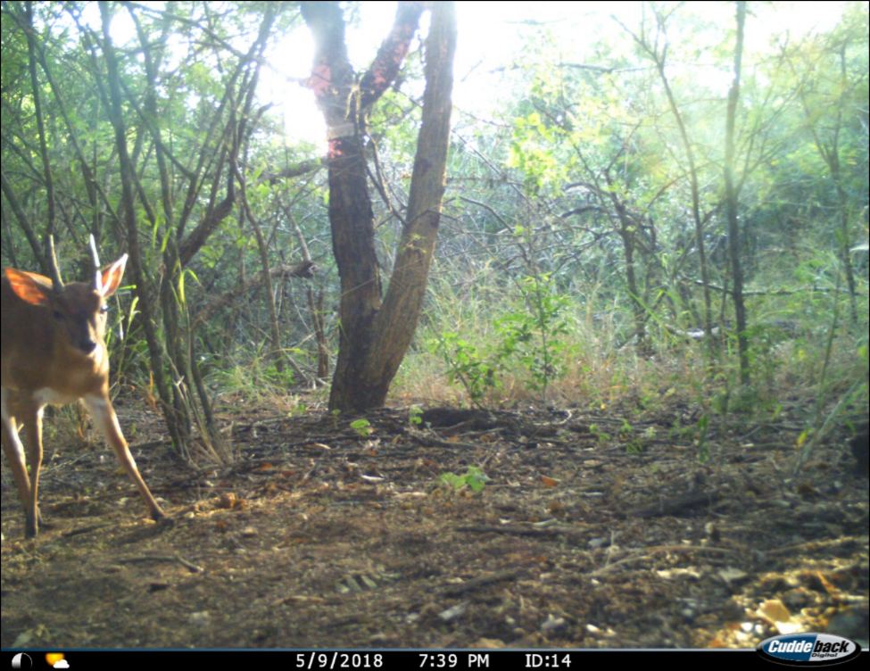 A male suni (Neotragus moschatus) caught on the camera trap survey at the Greater Ukuwela Conservancy earlier this month.