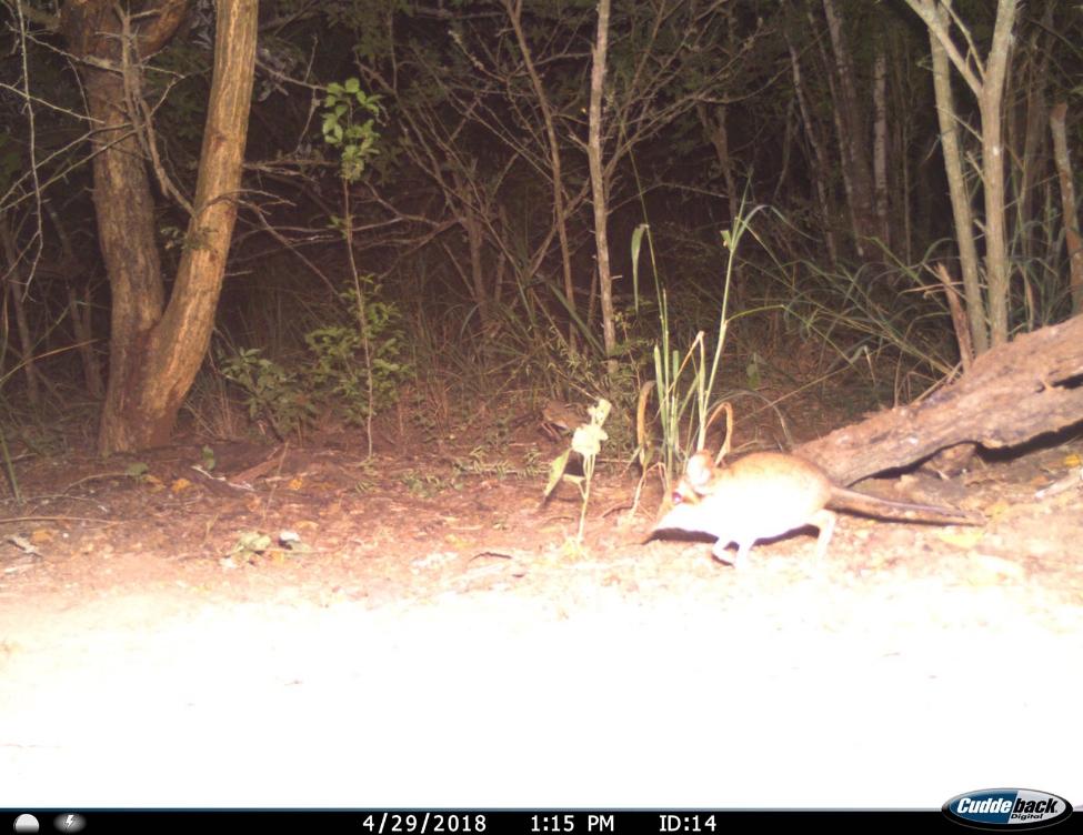 "A four-toed elephant shrew or ""sengi"" (Petrodromus tetradactlyus) seen on the camera trap survey at the Greater Ukuwela Conservancy this month."