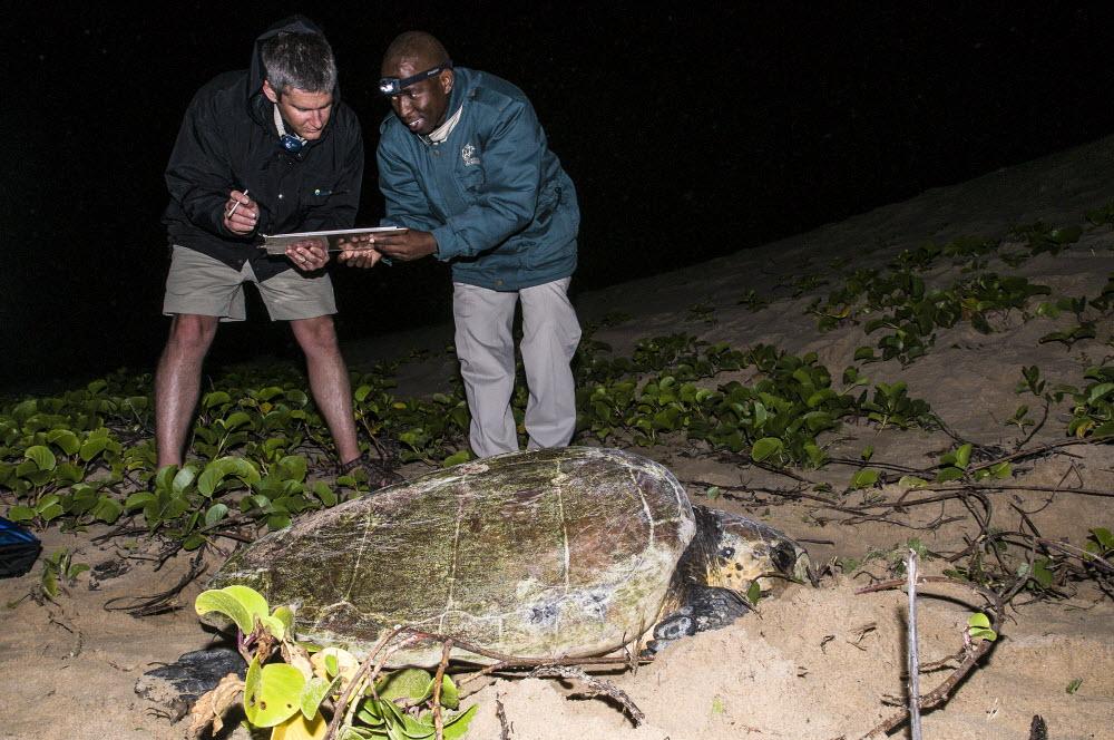 Loggerhead turtle tagging at iSimangaliso Wetland Park. Photo Credit: Peter Chadwick\WildScreen Exchange.