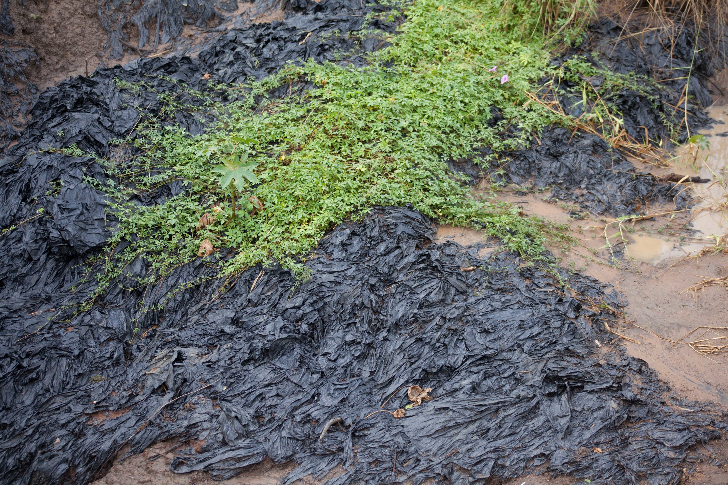 Plastic pollution from pineapple farming lining a section of the bank of the Mzinine river,Ukuwela conservancy South Africa.
