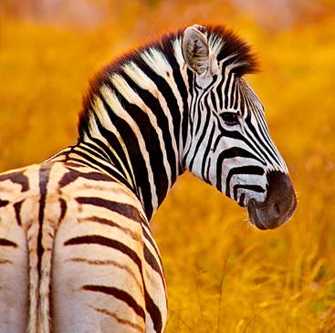 zebra rewilding.jpg